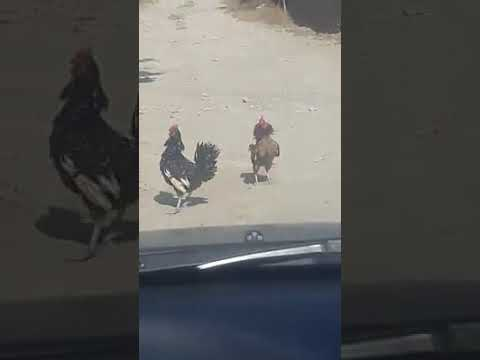 Azərbaycanlı hakimin yolunu kəsən xoruz davası - VİDEO
